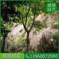 凤凰木图片/凤凰木报价价格优惠