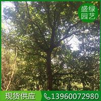 2018年漳州秋楓新報價 漳州秋楓基地 漳州秋楓實拍