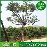 优质特价台湾栾树产地直销 漳州台湾栾树的栽培繁殖
