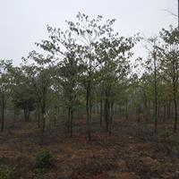 灯台树 灯台树价格 灯台树小苗 优质灯台树仳发