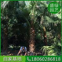 蒲葵5图片/蒲葵5报价