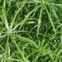 供应旱伞草、花叶芦竹、再力花、醉鱼草、水葱等