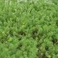 供应聚草、浮萍草、野茭白、姜花、水生鸢尾、黄花鸢