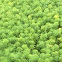 供应富贵草、二月兰、白三叶