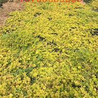 金叶过路黄种植基地价格
