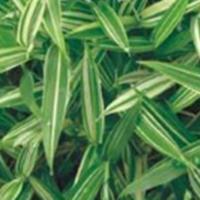 竹类植物雷竹、紫竹、菲黄竹、菲白竹、苦竹、箬竹