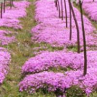 供应二月兰、金鸡菊、石竹等草花地被植物