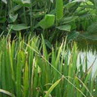 供应水生植物长年供应姜花、灯心草、荷花、再力花、泽泻、细叶莎