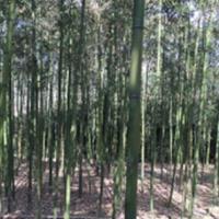 供应早竹、红竹、淡竹、刚竹、紫竹、金镶玉竹