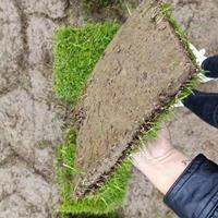 湖南郴州低价销售马尼拉草坪,草坪价格