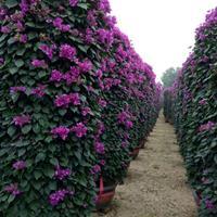 三角梅柱,紫色柱三角梅丶勒杜鵑1
