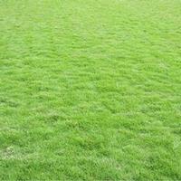 百色马尼拉草皮