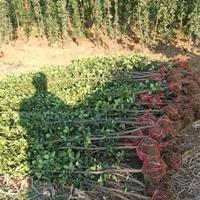 大量供应高度20-300公分北海道黄杨
