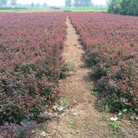 出售百万棵紫叶小檗 红叶小檗 紫叶小檗球 红叶小檗球红叶小波