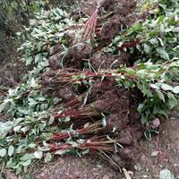 供应红瑞木,红梗木,红马球绿化苗木