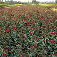 紅帽月季價格_紅帽月季圖片_紅帽月季產地_紅帽月季綠化苗木苗