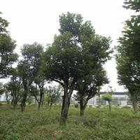 柿树价格_柿树图片_柿子树产地_柿子树绿化快乐赛车玩法苗圃基地