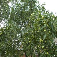 供应各种果树枣树,李子树,梨树 苹果树 杏树核桃树等