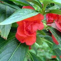 凤仙花 元旦花坛用花