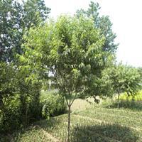 供应山桃树,毛桃树