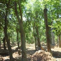 朴树价格_朴树图片_朴树产地_朴树绿化苗木苗圃基地