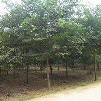 供应红榉_红榉树 _榉树绿化苗木