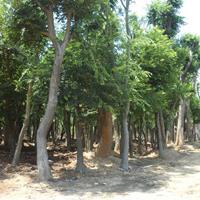 供應白櫸樹,青櫸樹綠化苗木