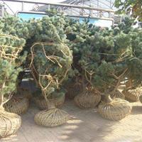 出售五针松苗木 五针松盆景