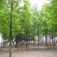 水杉价格_水杉图片_水杉产地_水杉绿化苗木苗圃基地