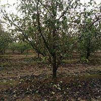 供应今年5公分8公分10公分占地12公分李子树价格