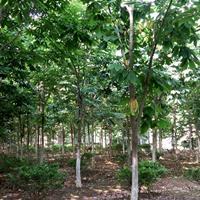 供應各種規格七葉樹