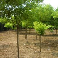 供應綠化苗木金枝國槐,黃金槐 ,黃槐點綴苗木