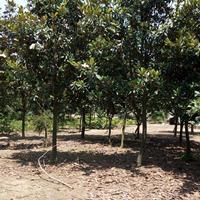 供應廣玉蘭綠化苗木