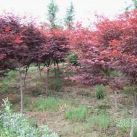 供應紅楓_日本紅楓各種紅楓樹