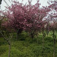 垂丝海棠价格_垂丝海棠图片_垂丝海棠产地_垂丝海棠绿化苗木苗