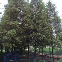 大小规格水杉基地