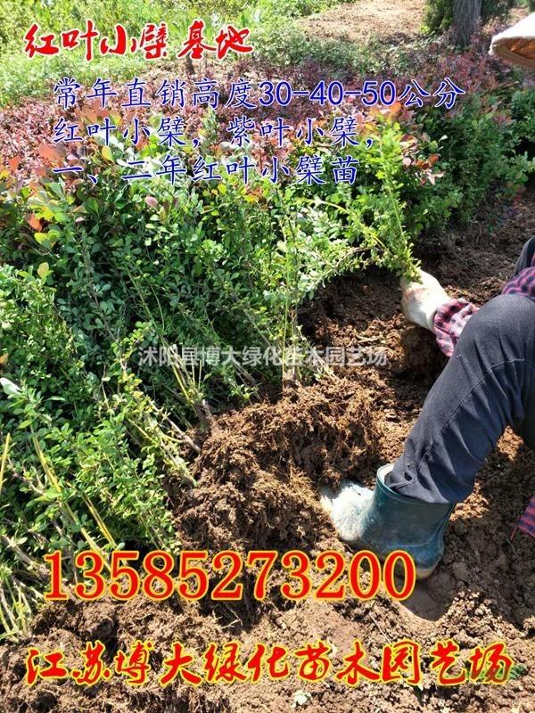 供应红叶小檗苗价格江苏红叶小檗绿化苗木基地红叶小檗球红叶小波