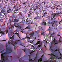 紫叶酢浆草价格_紫叶酢浆草图片_紫叶酢浆草产地_紫叶酢浆草绿