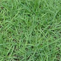 大量出售中华结缕草草坪