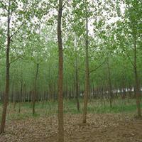 大量供应速生杨树,白杨树 意杨 规格齐全