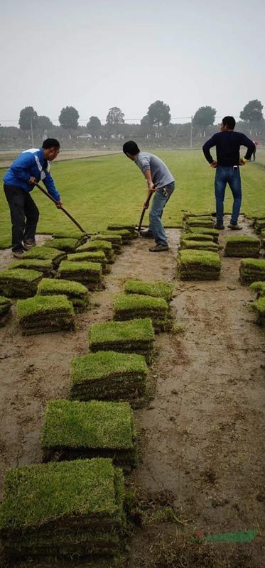 马尼拉价格_马尼拉草坪图片_马尼拉产地_马尼拉草坪基地