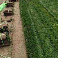 供应狗牙根草坪早熟禾草坪高羊茅草坪