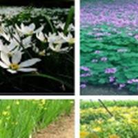 紫叶酢浆草,粉黛乱子草,鸢尾,千屈菜,花叶芦竹,二月兰,紫花