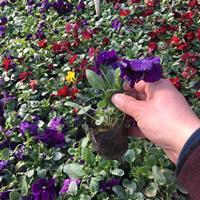 三色堇种植产地价格,三色堇供应商,三色堇哪里有卖?