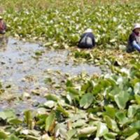 水藻、旱伞草、金鱼藻