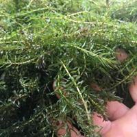 伊乐藻、四季草