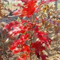 北美红栎小苗 美国红橡树价格 欧洲红栎报价 红栎基地