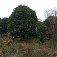 供應22公分桂花樹
