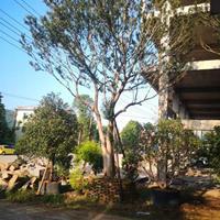 供應樸樹 單桿樸樹 叢生樸樹 多種規格齊全 價格實惠