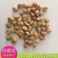 香港四照花新种子批发,江西四照花种子价格四照花种子多少钱一斤
